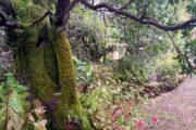 Arbutus unedo madroño pazo de la saleta