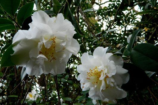 camellia japonica nobilissima jardín Saleta