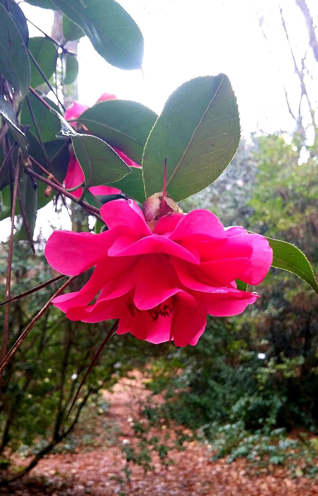 camellia pazo de la saleta